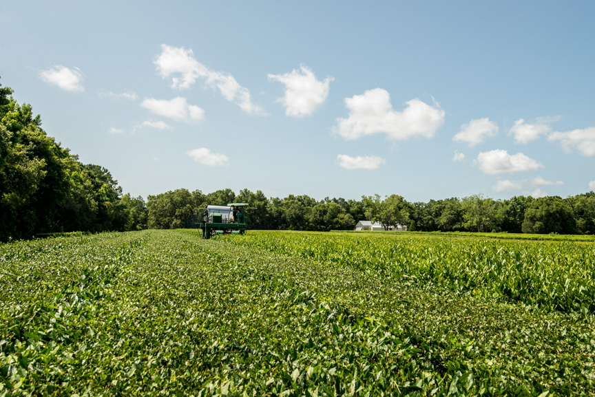 Tea harvester at work in the tea fields