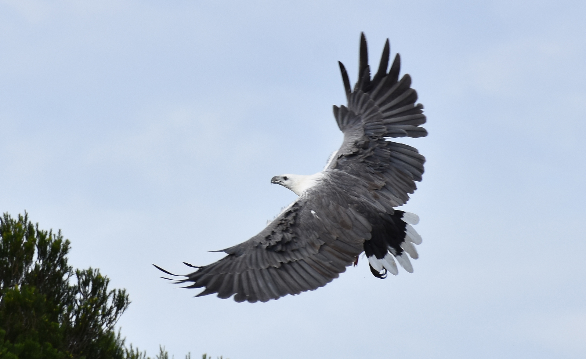 White Bellied Sea Eagle Mallaccota 5.  Photo courtesy of Janet Hubbard.JPG