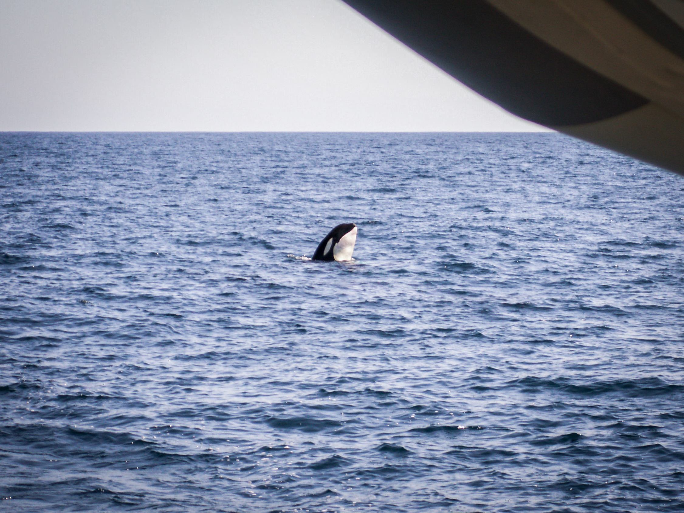 MOVEMENT SAILING -  WHALES