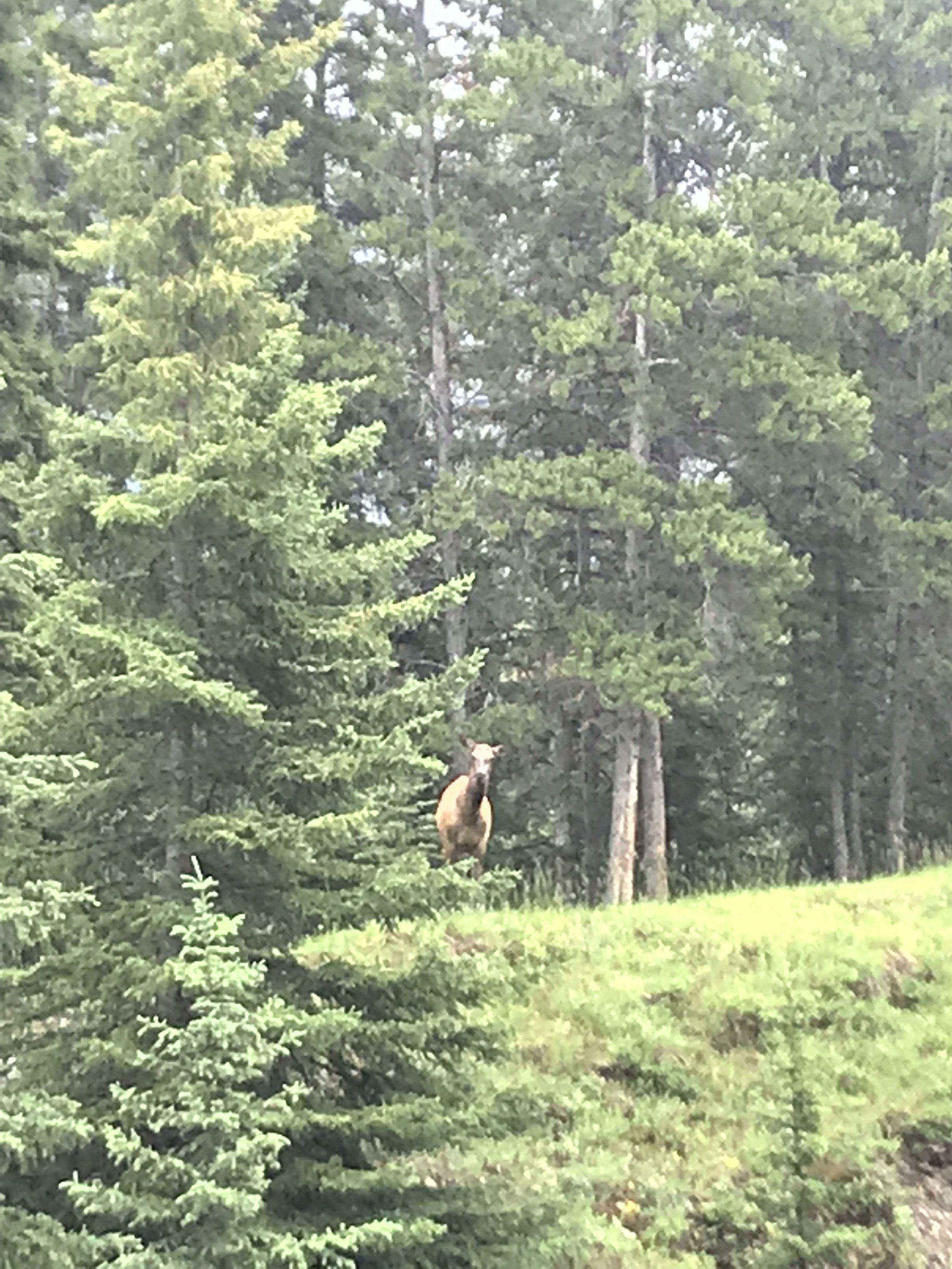 Mama Cow Elk