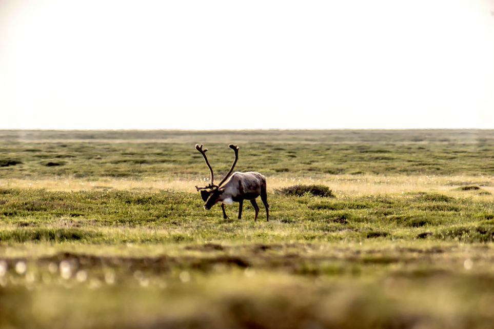 Caribou foraging on the tundra.  https://www.flickr.com/photos/canadianson/14645866918/player/