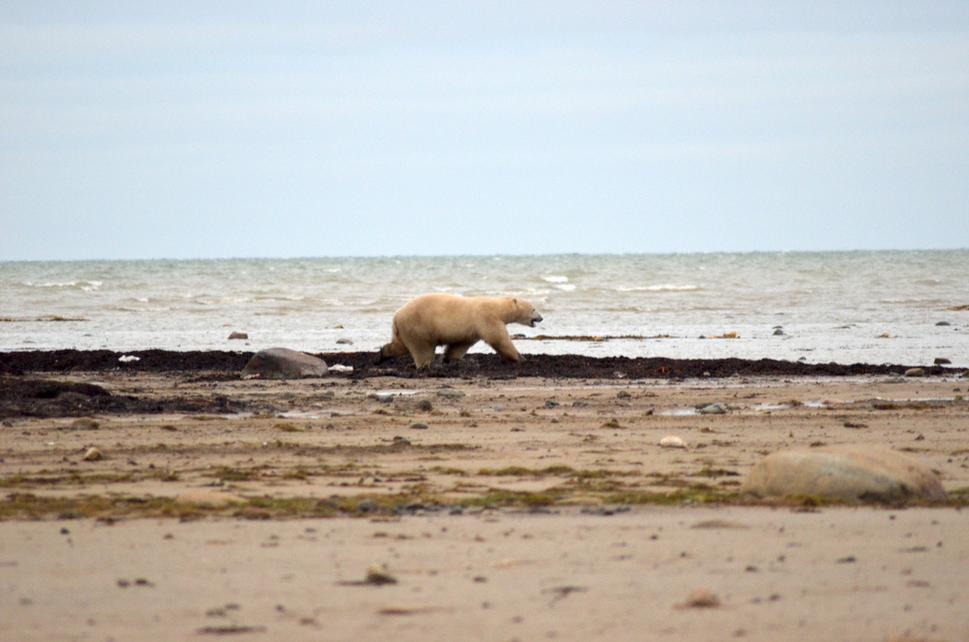 Polar bear walking along the shore. https://www.flickr.com/photos/canadianson/9497353077/player/