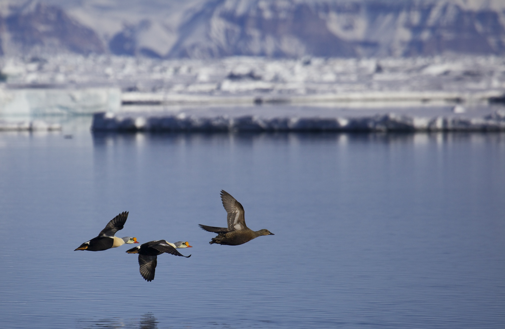 King Eider fly past the floe edge. Photo by Clare Kines.