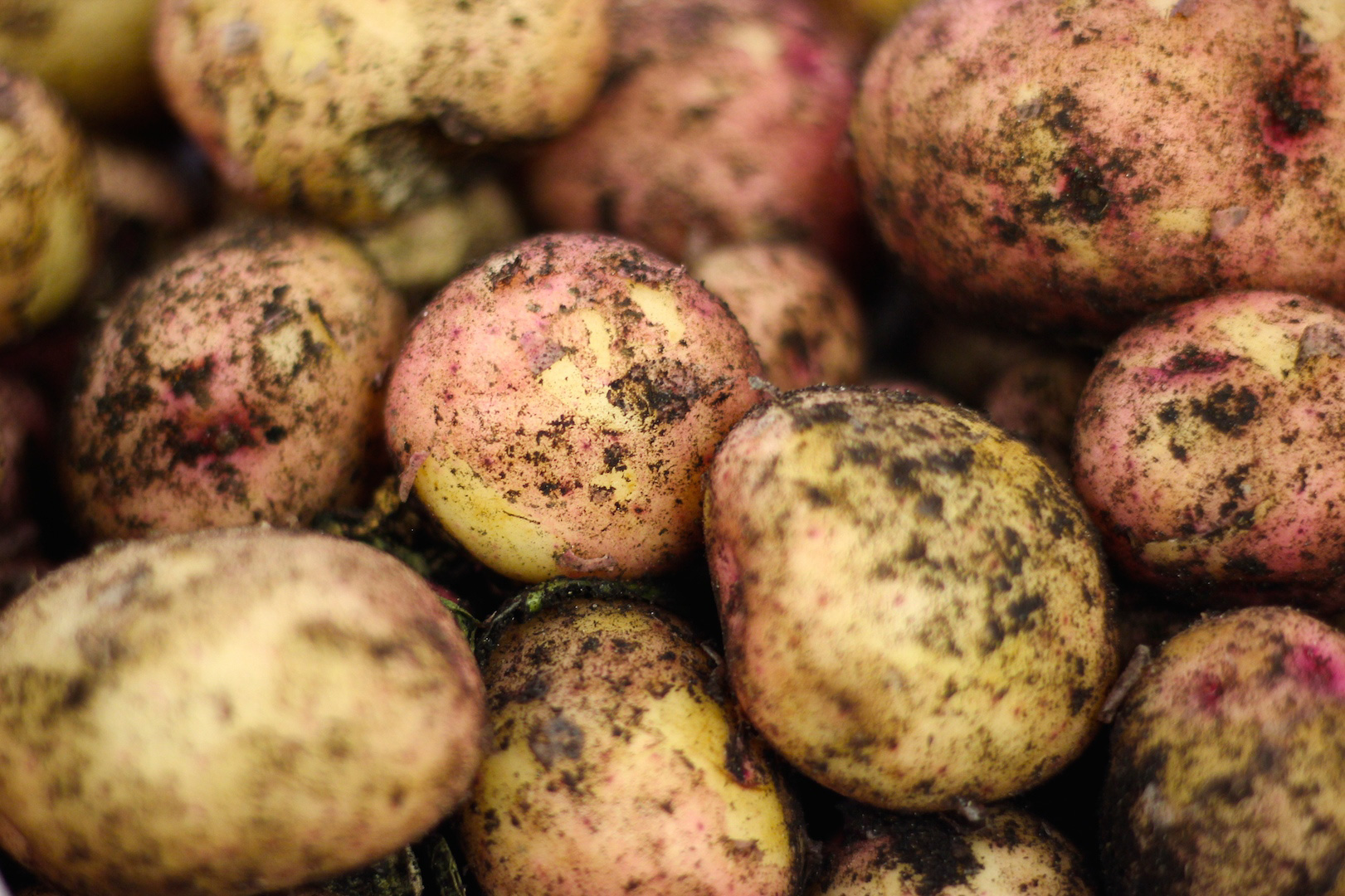Iqaluit-grown potatoes generously donated by the Iqaluit Community Greenhouse Society. Photo by Sarah Brandvold.