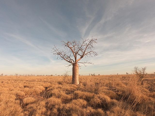 This land! 🙌🏻 Often on safari it's me that wants to stop to capture something I've seen. This week my guest Stephen took a pic of me taking a pic. This is one of my favourite Boab trees in all the land.  First pic is shot with my @gopro. The others with an IPhone on zoom (third shot is me cheeming it, all happy with what I just captured 🤠). #GodsCountry #KimberleySpirit #TheKimberleyAustralia #SeeAustralia #WesternAustralia