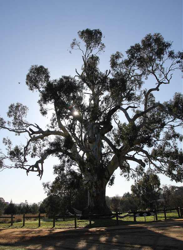 The Yarrayne or  Big Tree  can be found at the intersection of Fryers St and Ballarat St in Guilford, Victoria.