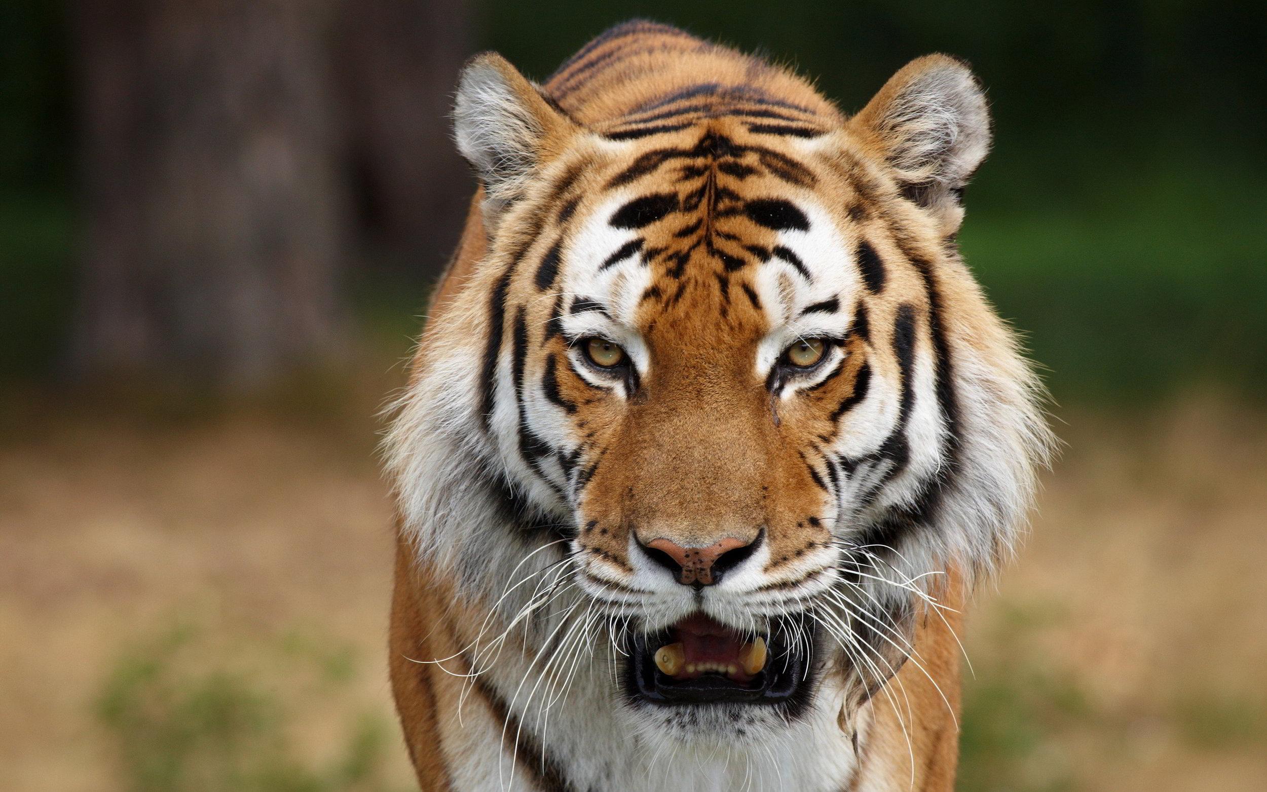 6974762-face-tiger.jpg