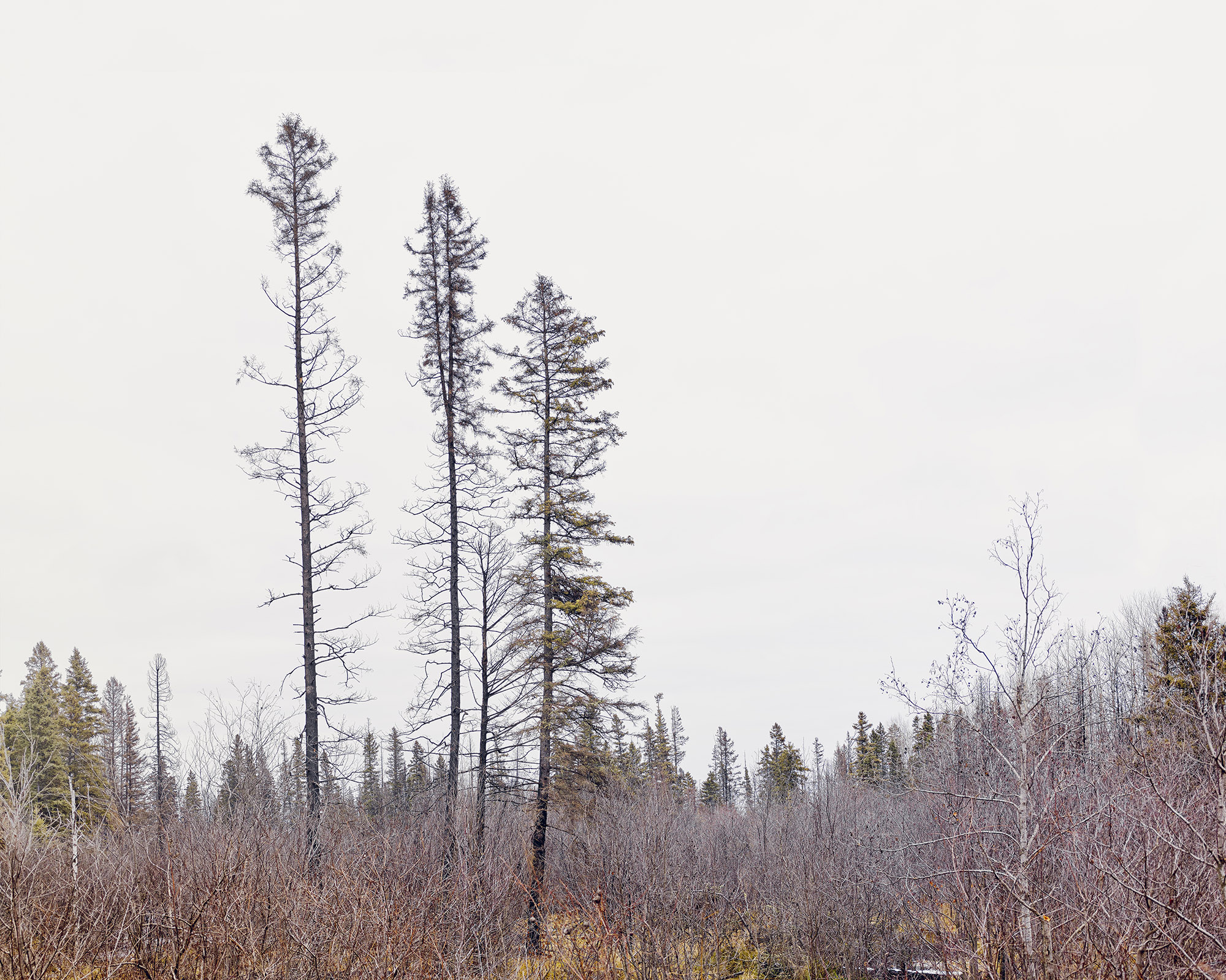 Lodgepole Pines,Fort McMurray, Canada. November, 2016