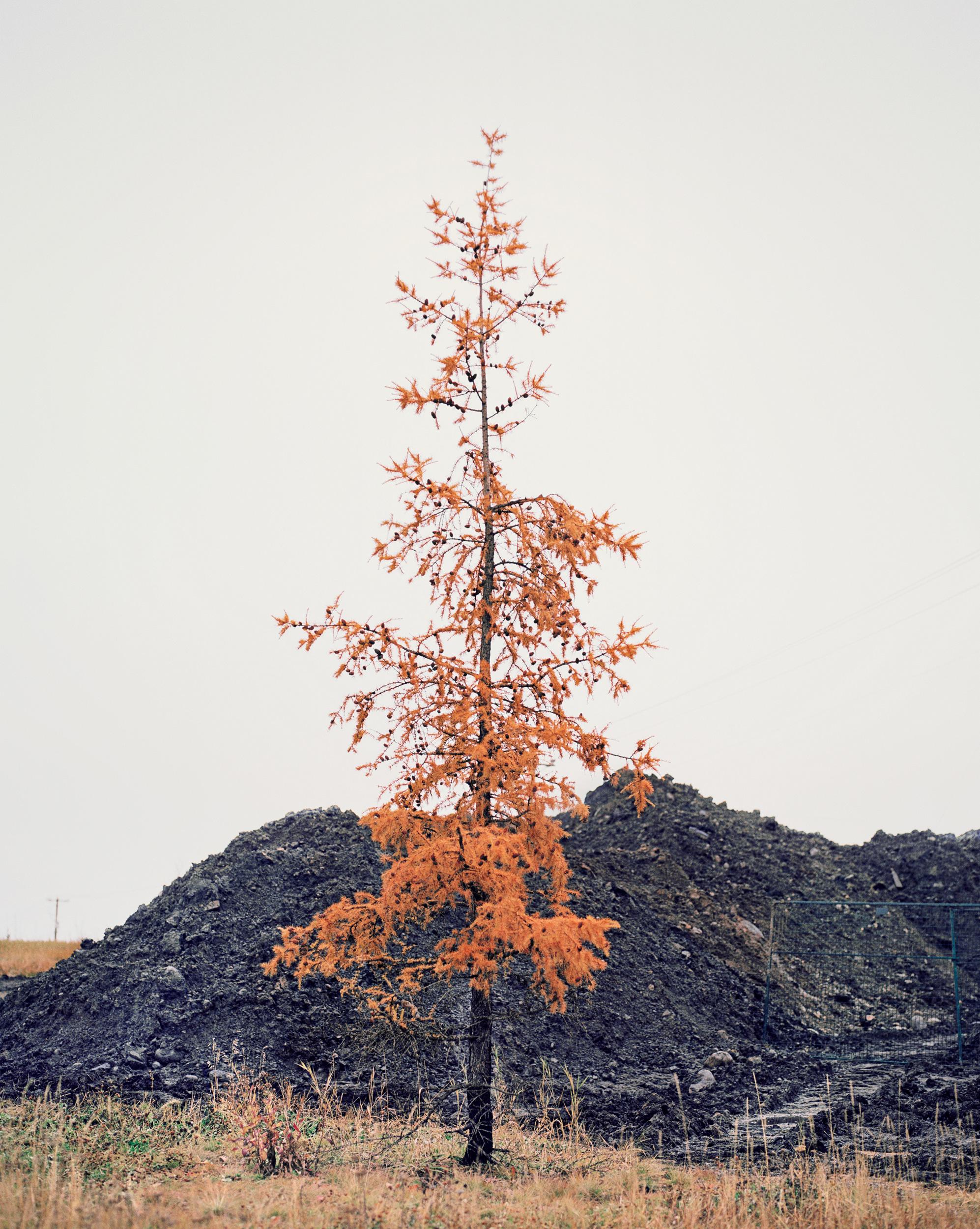 Larch (larix laricina), Fort McMurray, Alberta, Canada. 57cm x 46cm