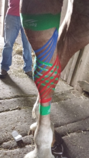 """Belgian gelding treated for a """"Boggy Hock"""""""
