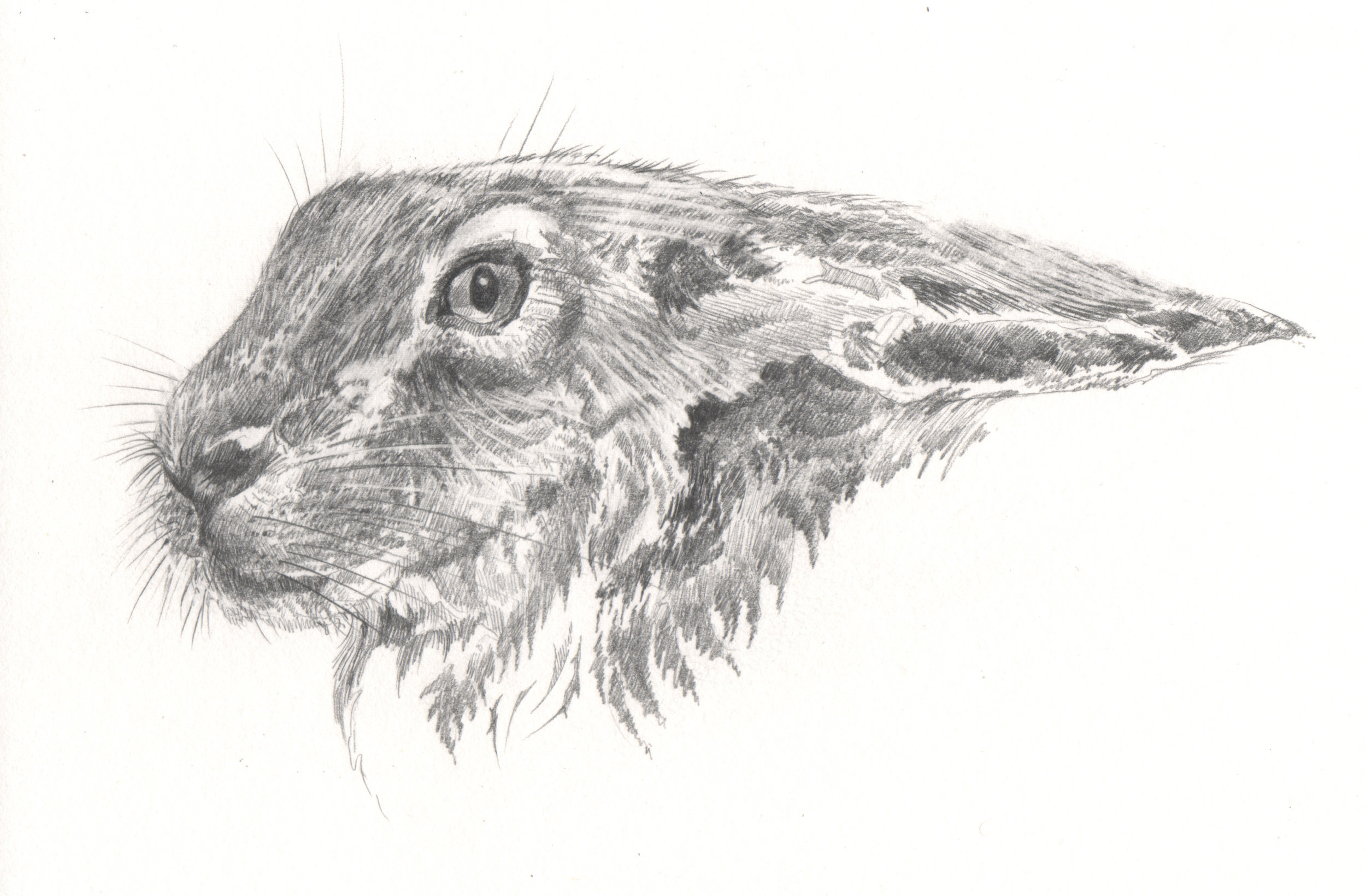 hare study 1.jpg