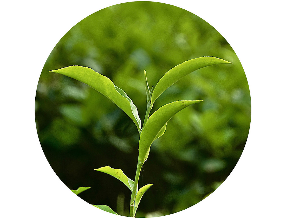 Camellia sinensis is the scientific name for the tea plant.