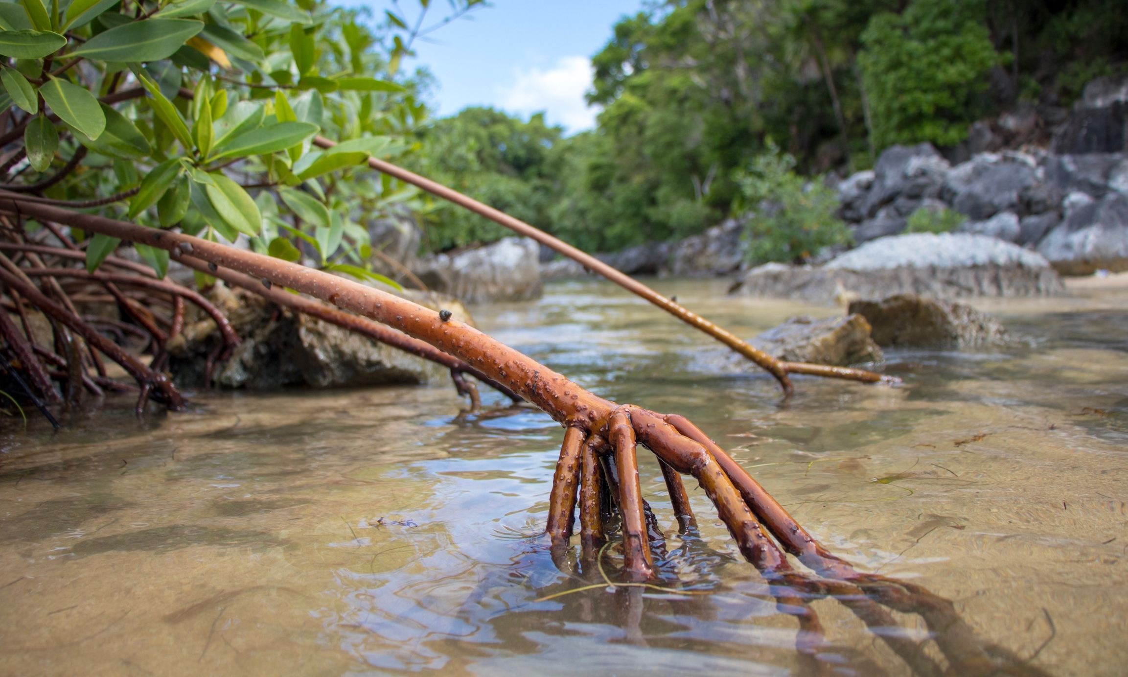 Paya Bay Mangroves.jpg