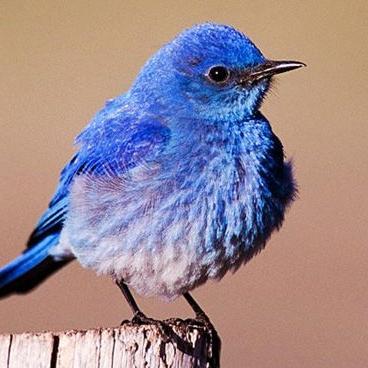 Mountain Blue Bird.jpg