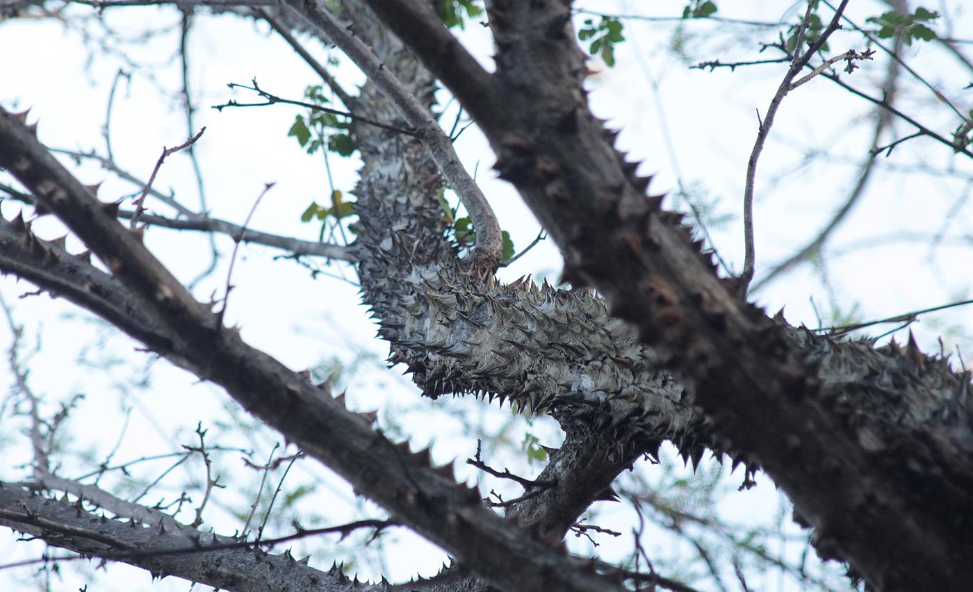 the kapok tree bird