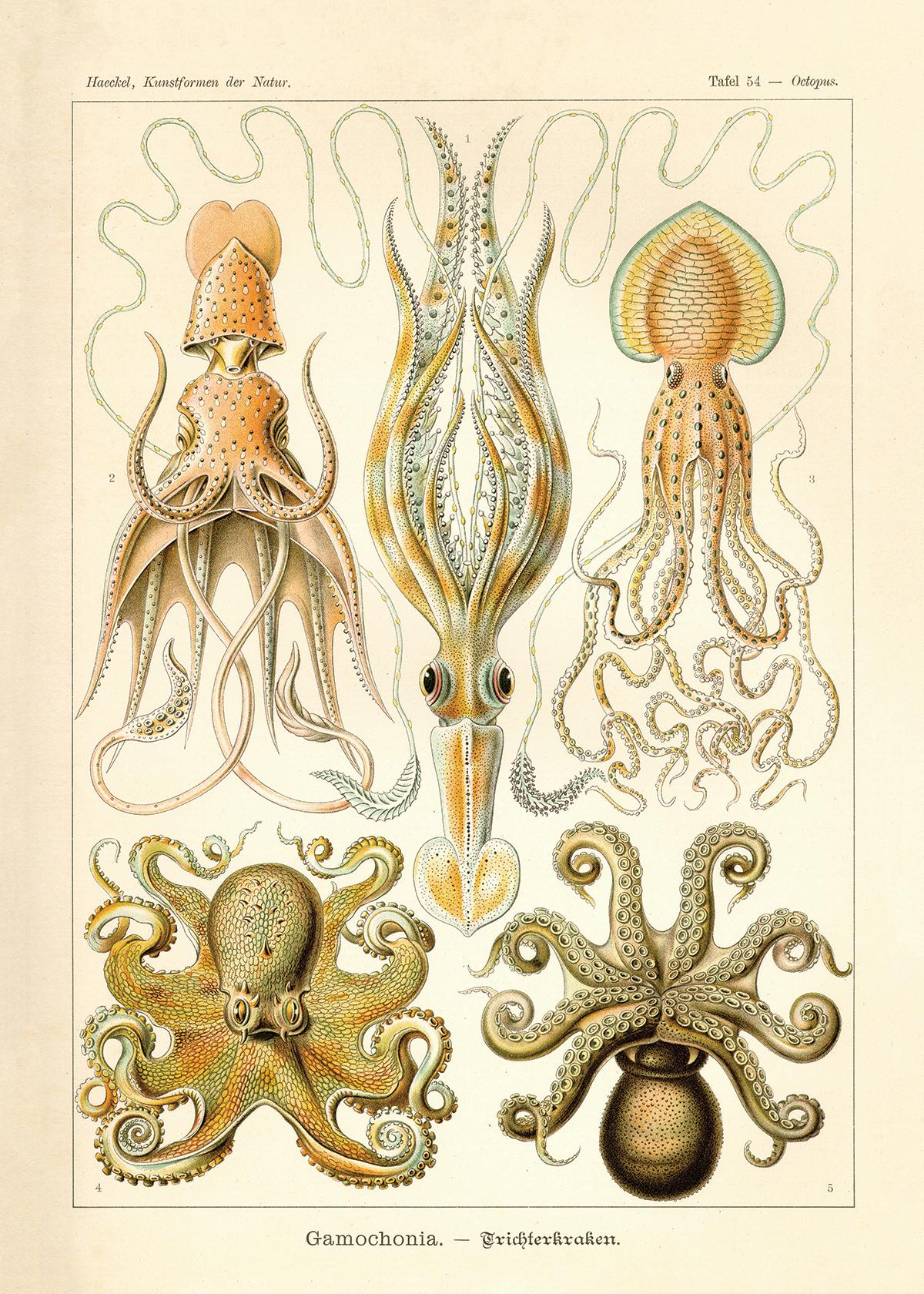 """Squid (20"""" x 28"""")"""