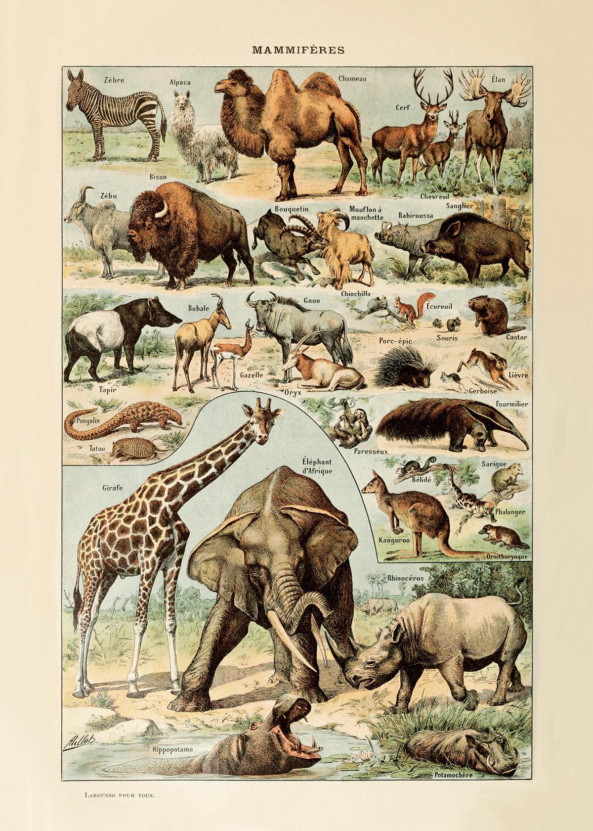 """Mammals (20"""" x 28"""")"""