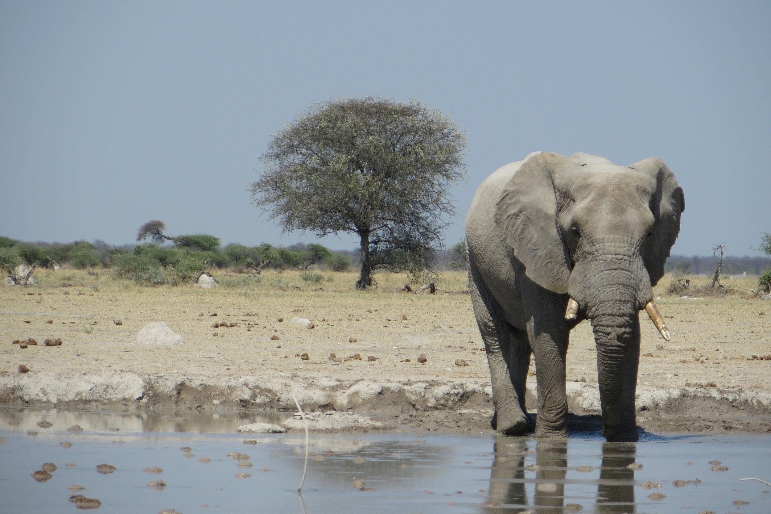 Botswana - Elephant - Joanna Fraser.JPG