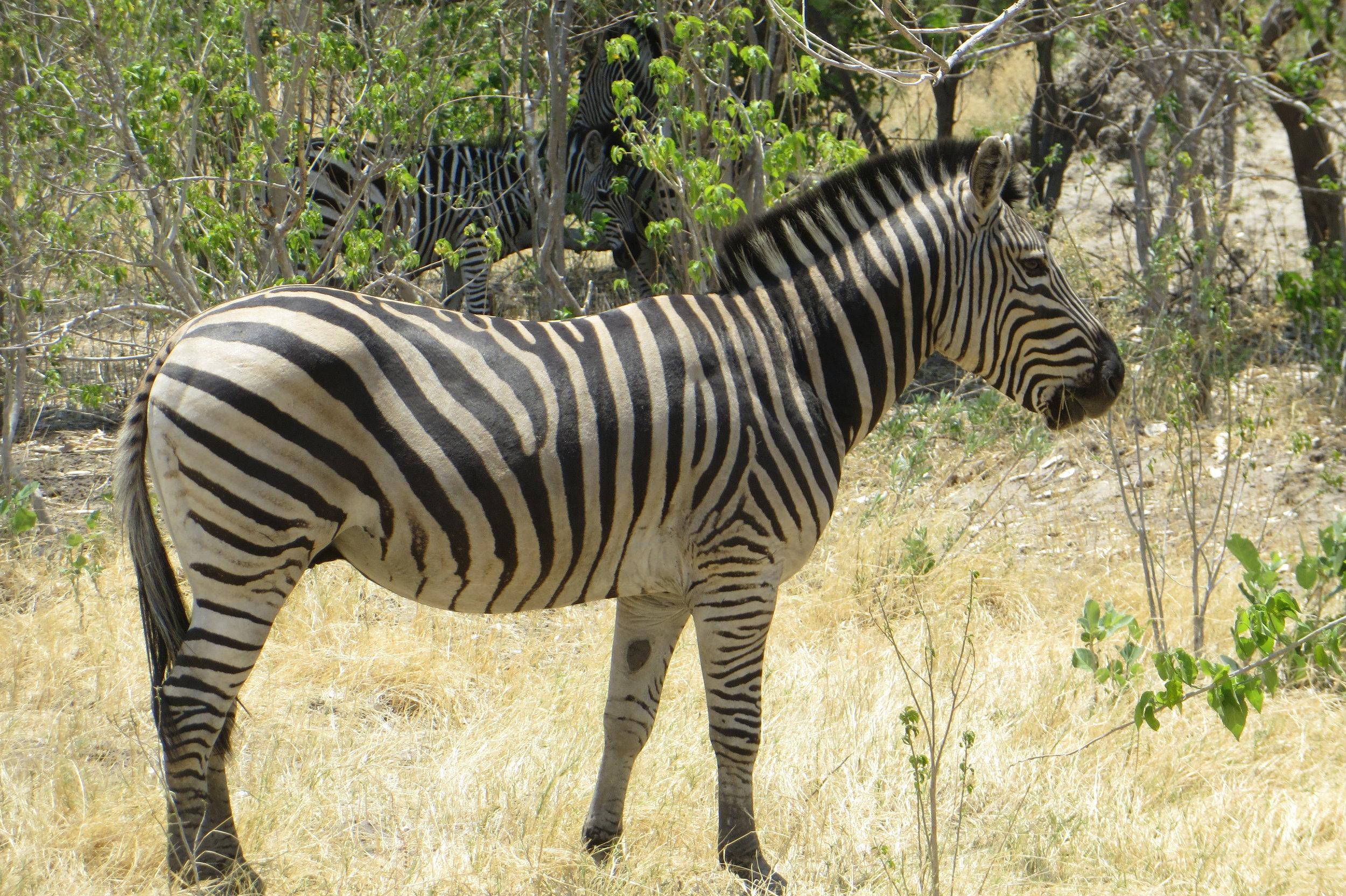 Botswana - Zebra - Joanna Fraser