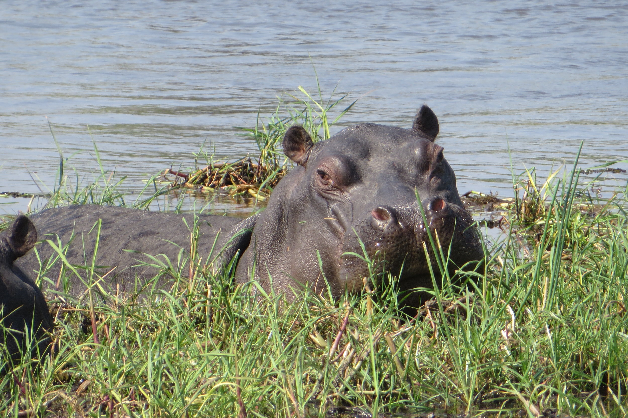 Botswana - Hippo - Joanna Fraser