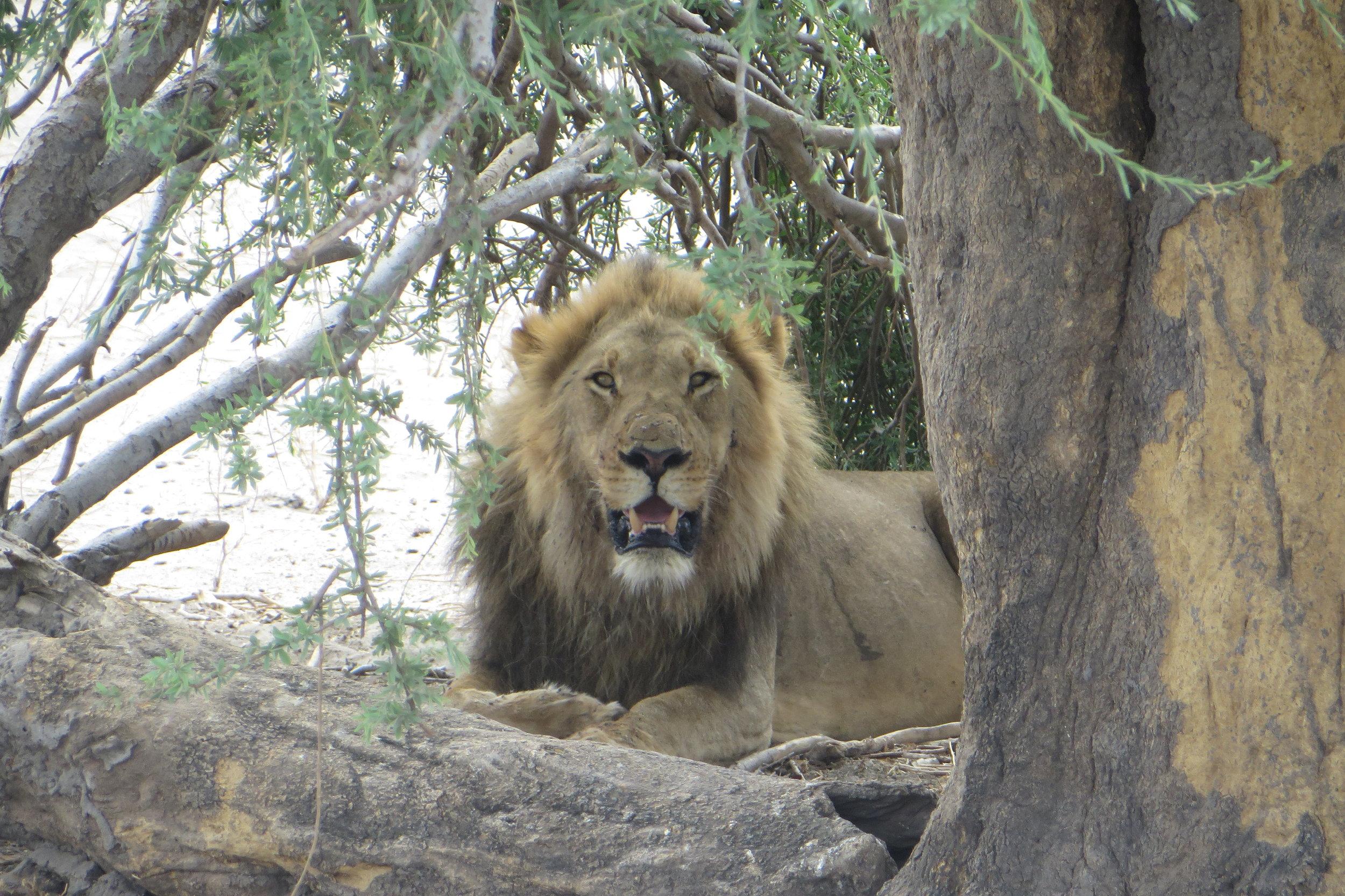 Botswana - Lion - Joanna Fraser