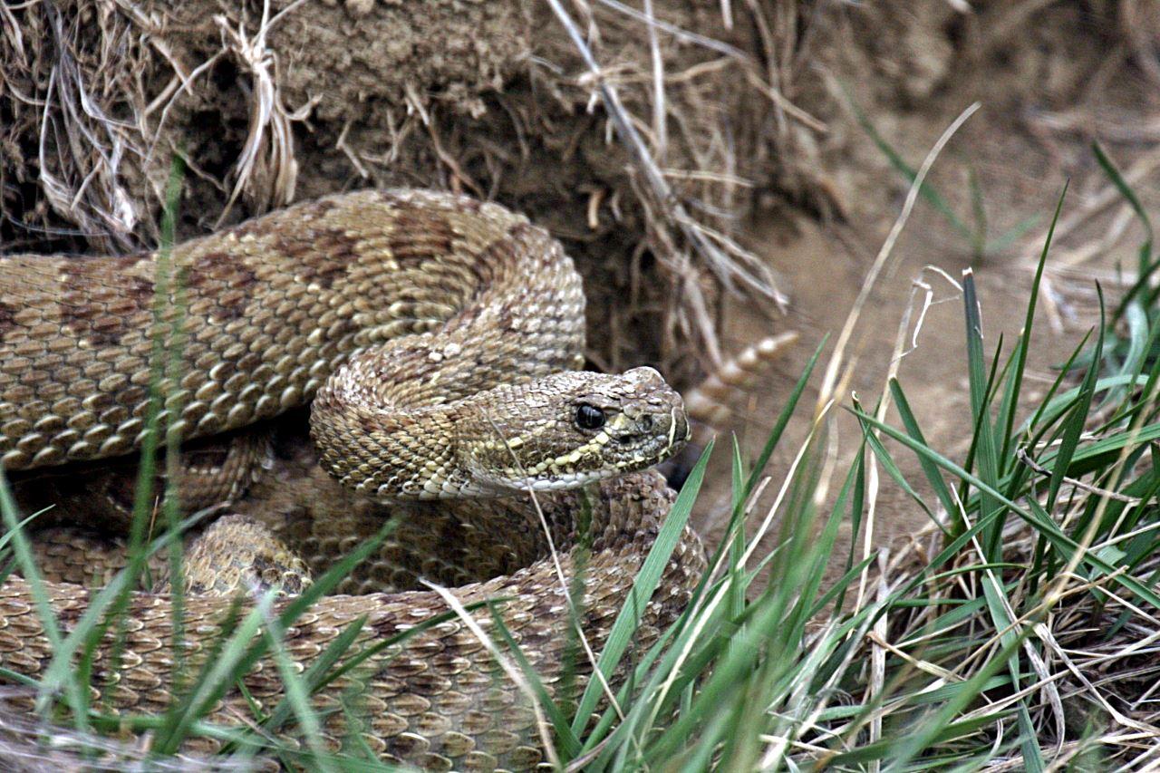 Rattlesnake coiled in hole (Ken Moore).jpg