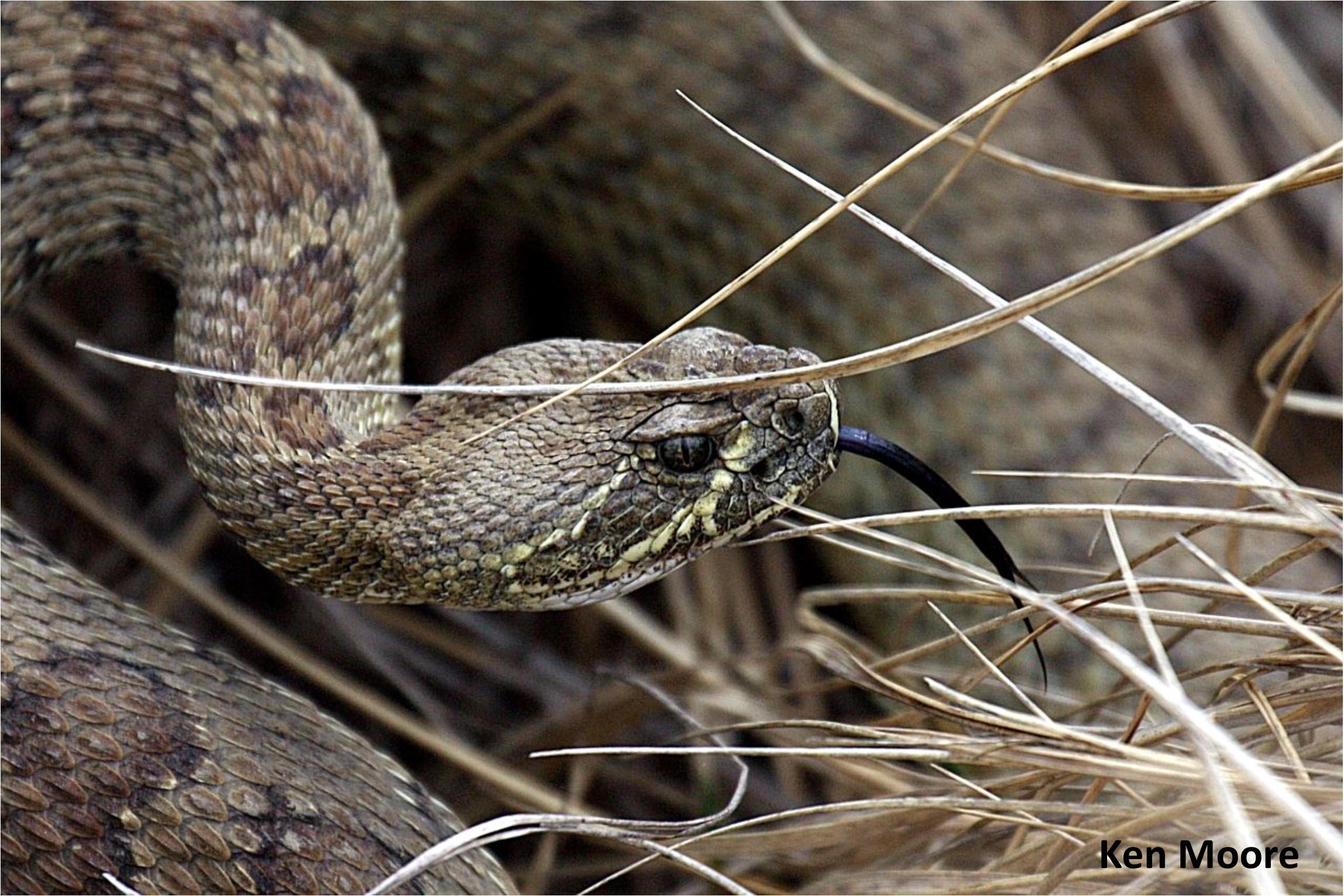 Rattlesnake photo credit Ken Moore.jpg