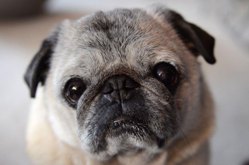 Hugo the Wonder Pug