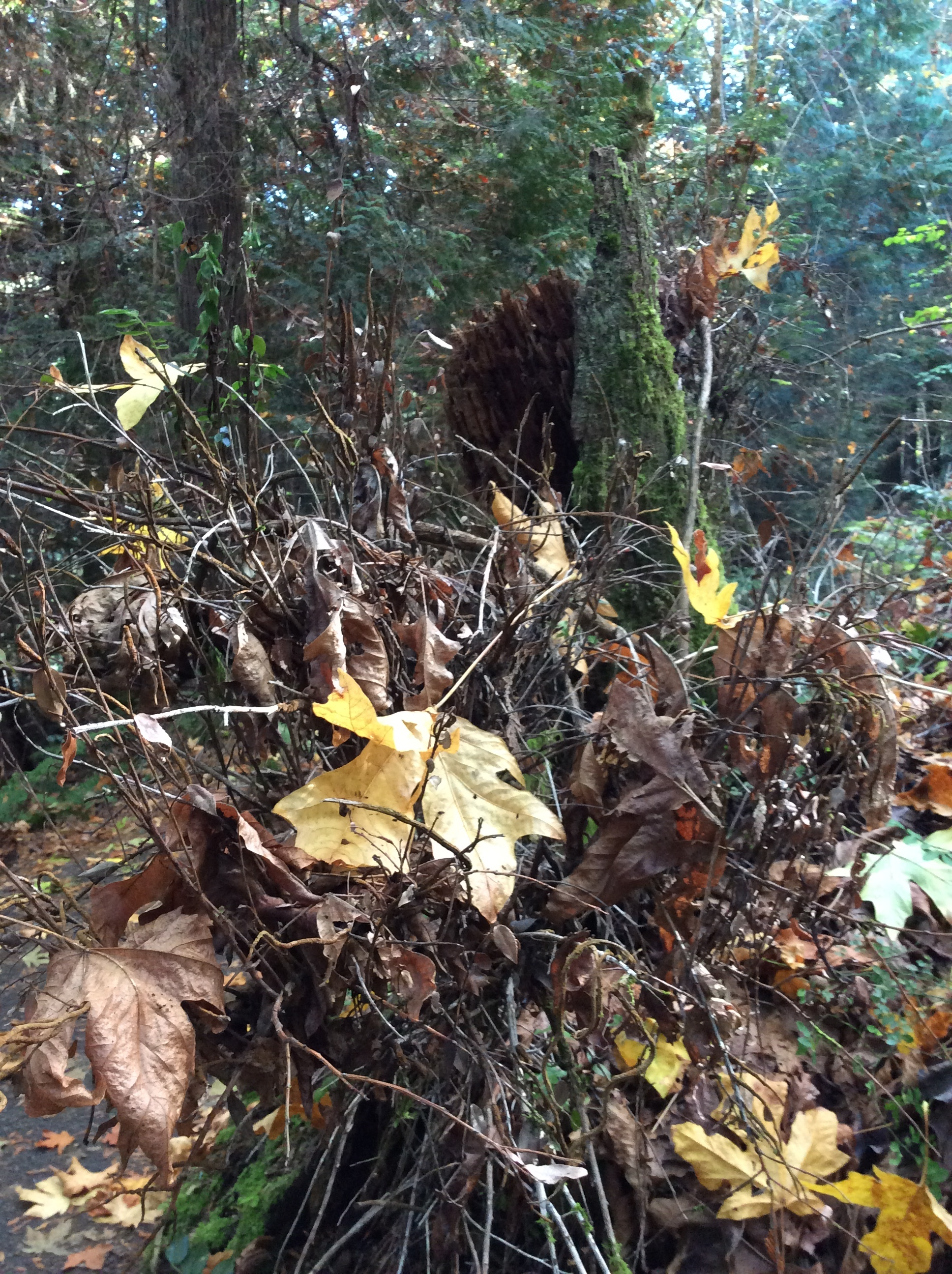 Nature is messy too. Bainbridge Island, Oct 2017.