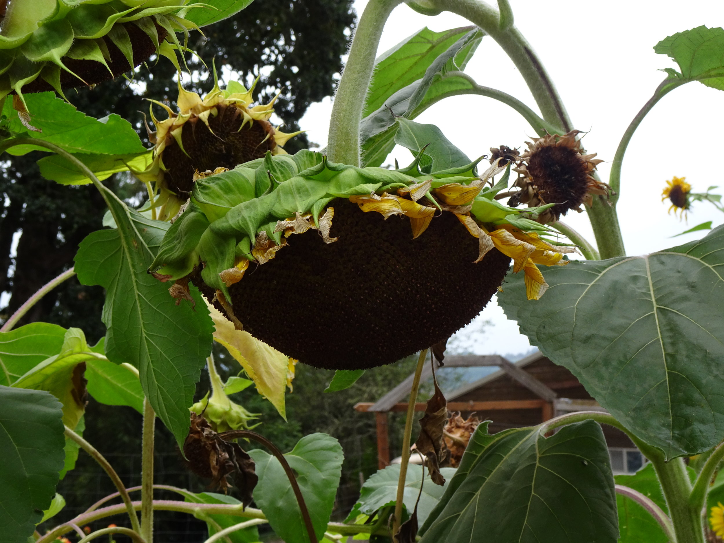 Sunflower: from full-faced beauty, to heavy seeded, bent and ready to go back to earth. Photo by Anne Richardson 9-29-18, Yamhill, OR