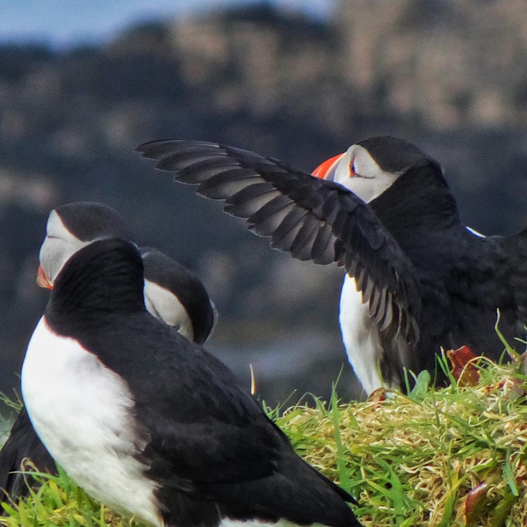 Puffins on one of Treshnish Isles welcoming fellow sojourners.