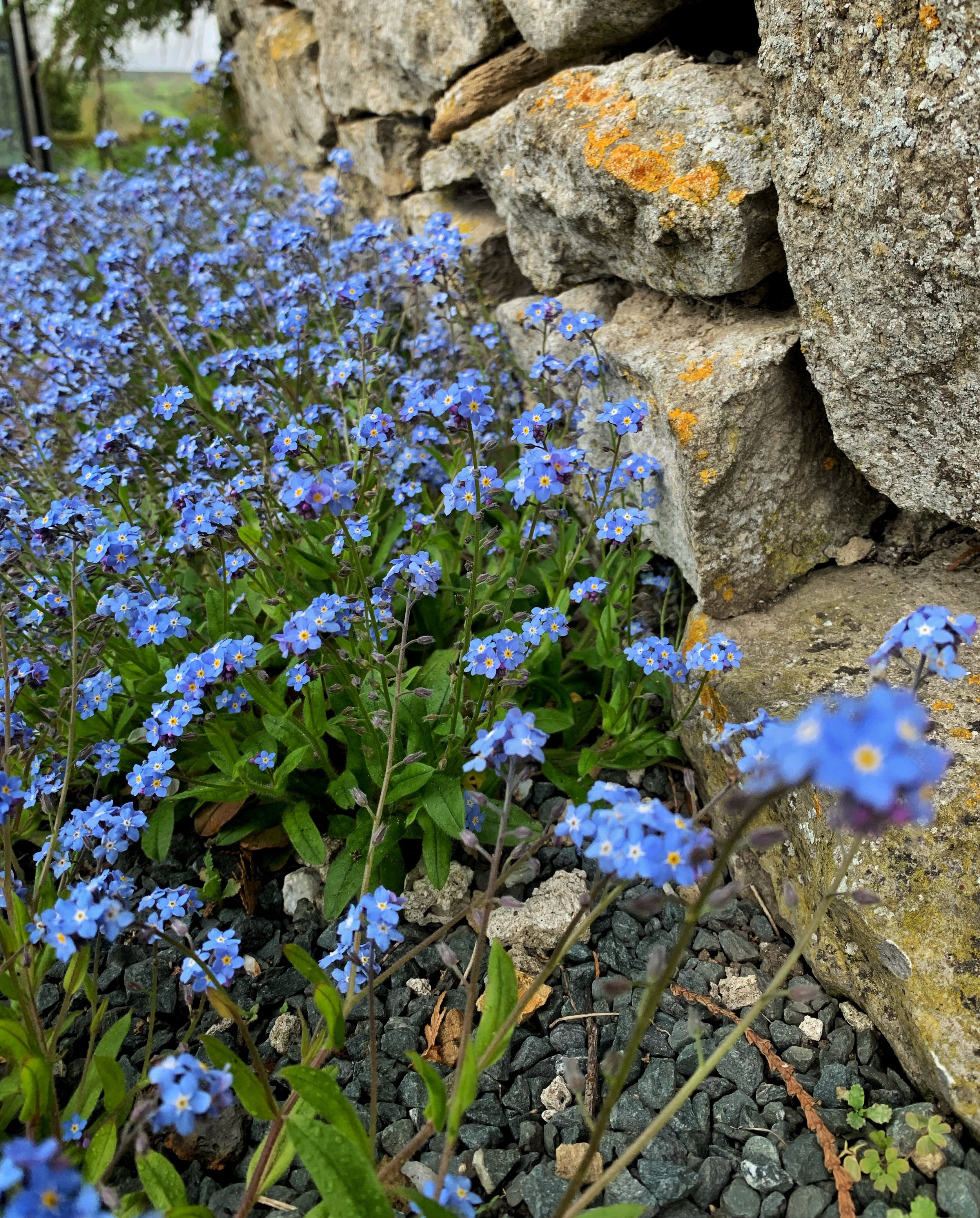 Forget-me-nots decorate the Yorkshire landscape. Photo by anne richardson