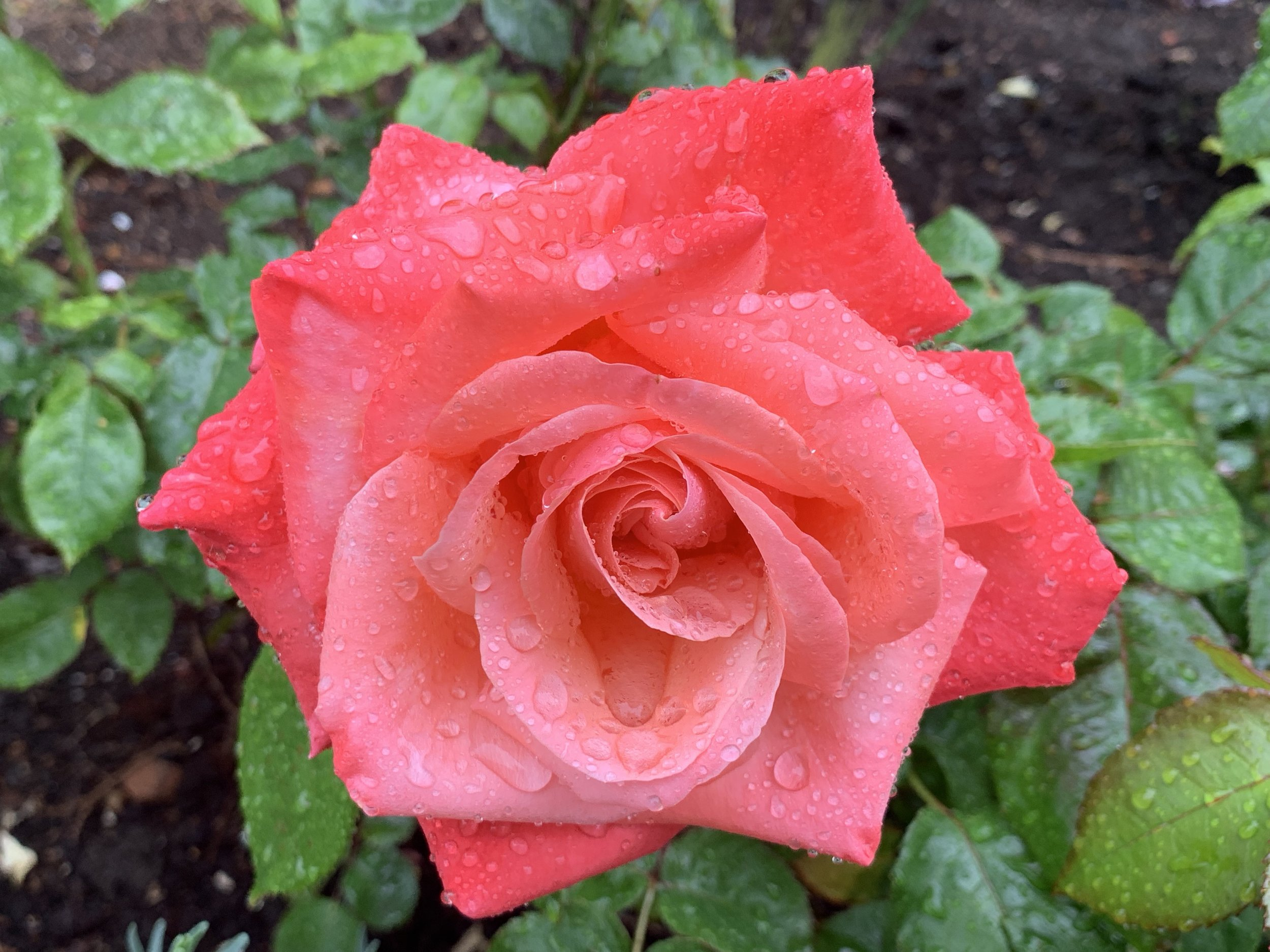 My mother loved roses. Photo by anne richardson.