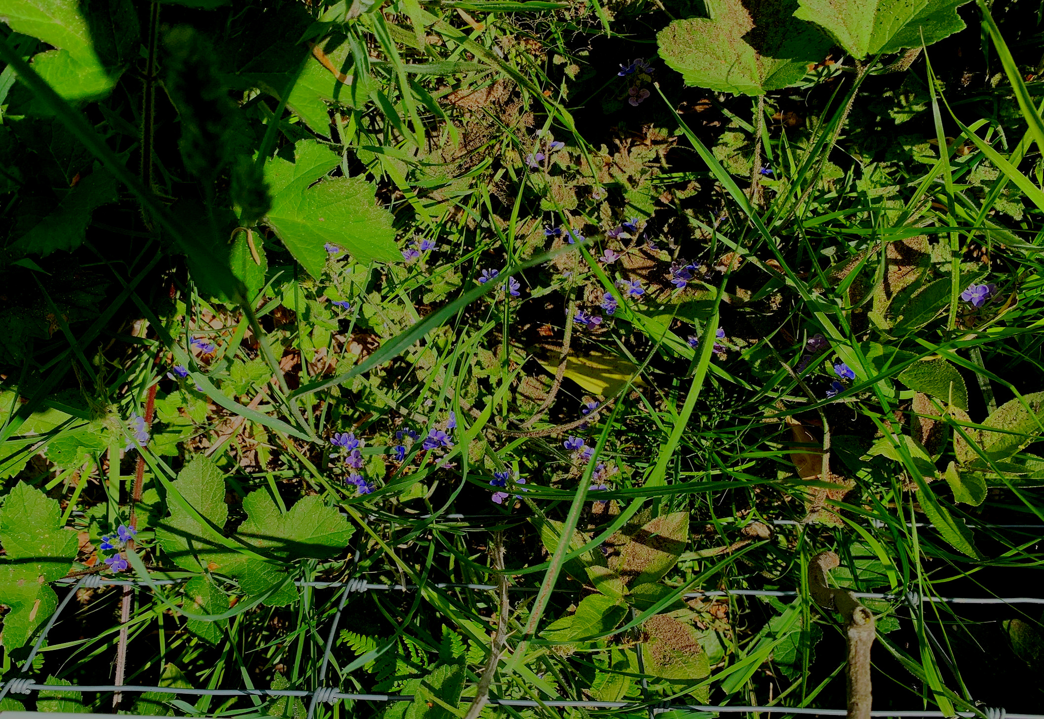 Glass heart hidden among the forget-me-nots and scattering of cremains. Photo by anne richardson.