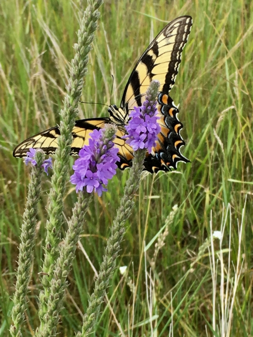 Eastern Tiger Swallowtail Rima found on one of the nature trails