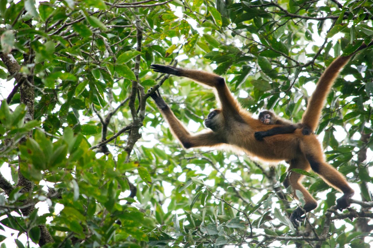 Costa Rica - Spider Monkeys