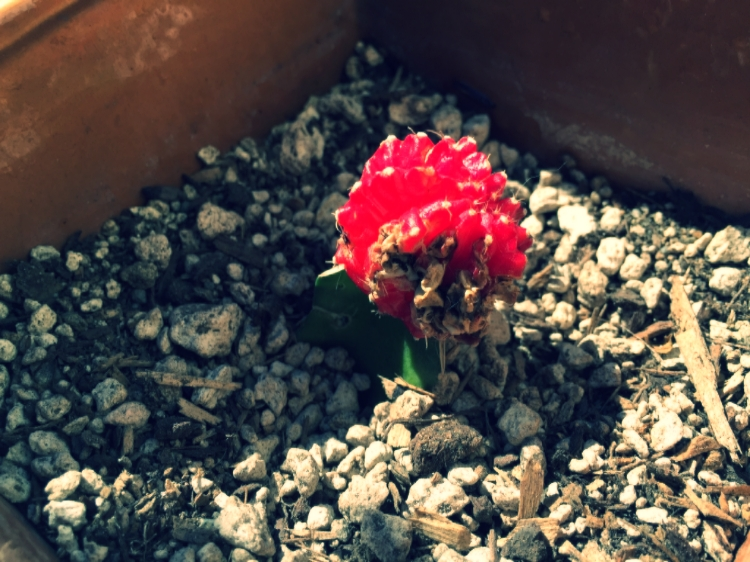 Verde is a ruby ball cactus.She isn't doing so hot. She's dying.