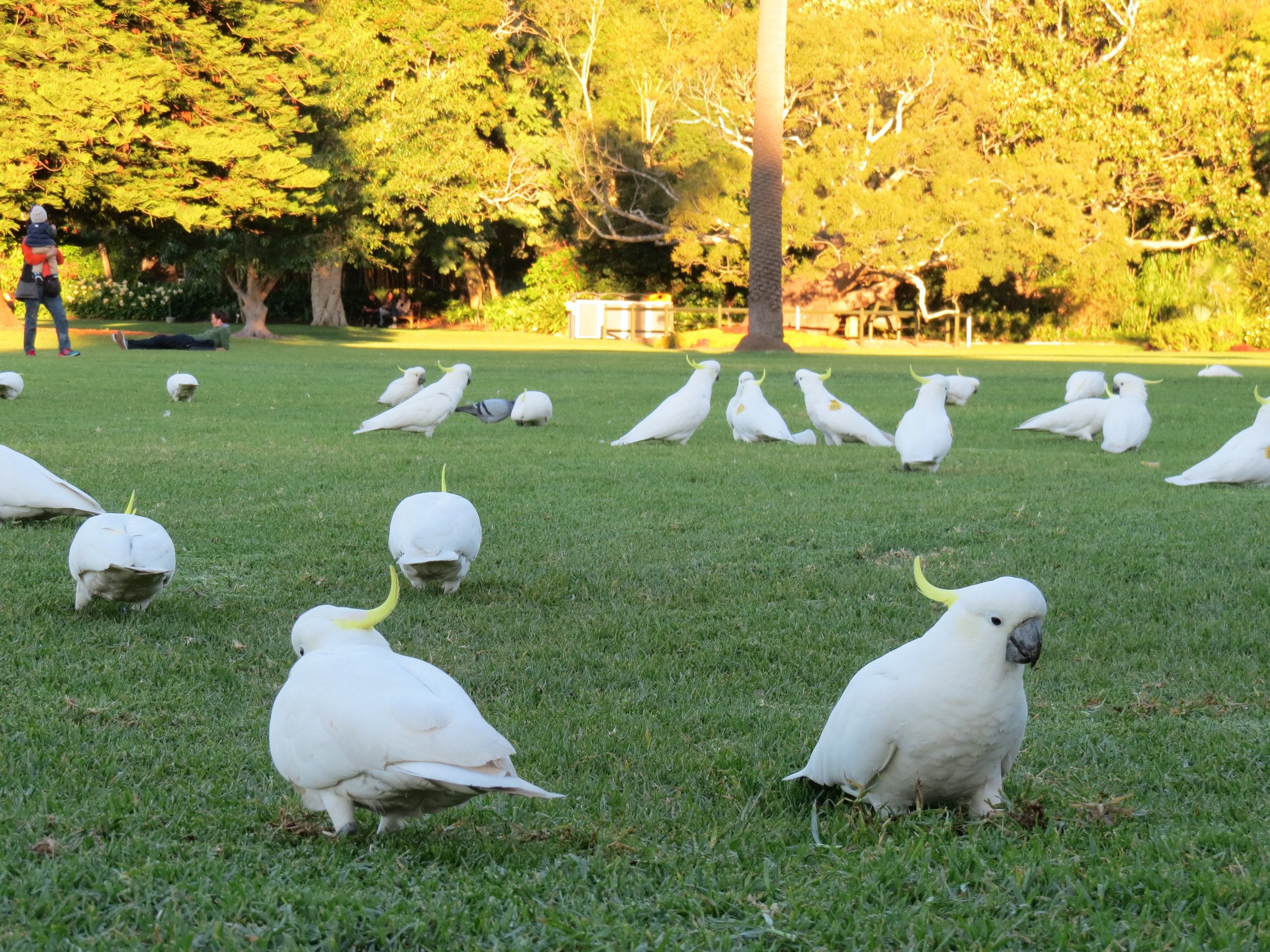 Sulphur-Crested Cockatoos at sunset on the lawn of the Royal Botanic Gardens