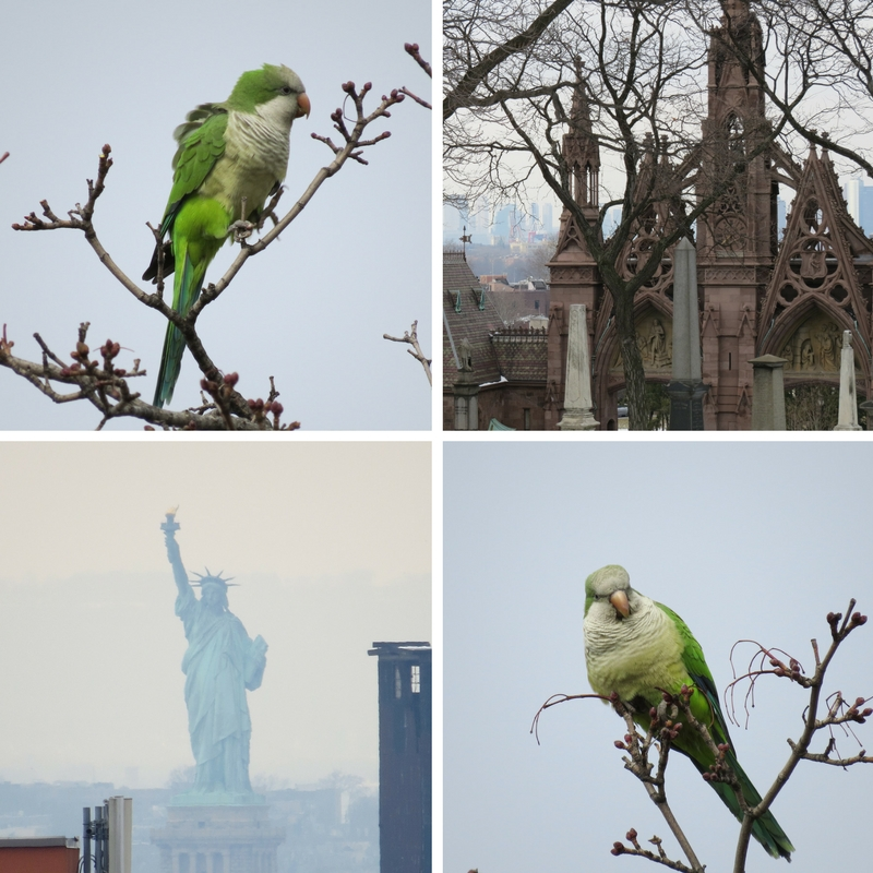 The monk parrots of Greenwood Cemetery known for its views of Lady Liberty and Gothic arches