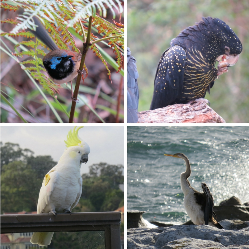 Variegated Fairy Wren, Banksian Cockatoo, Sulphur-crested Cockatoo, Pied Cormorant