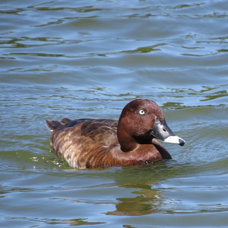 Hard Headed (White Eye) Duck