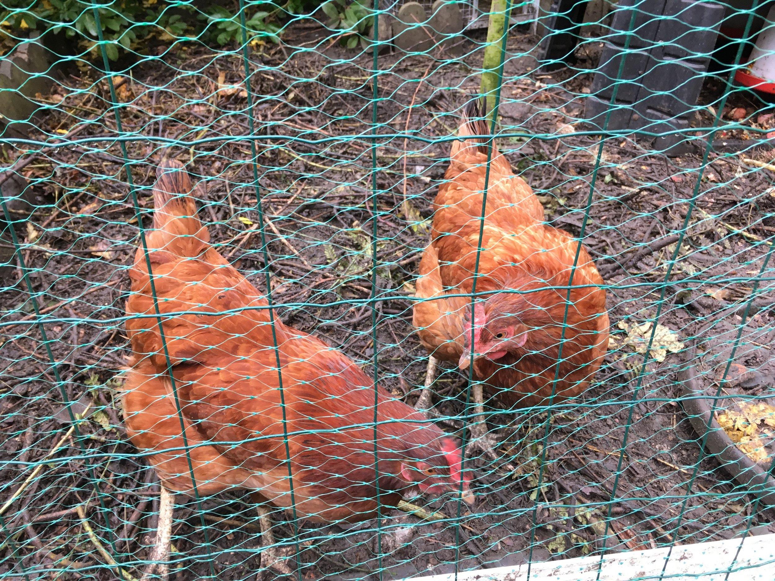 poules-oeufs-bio.jpg