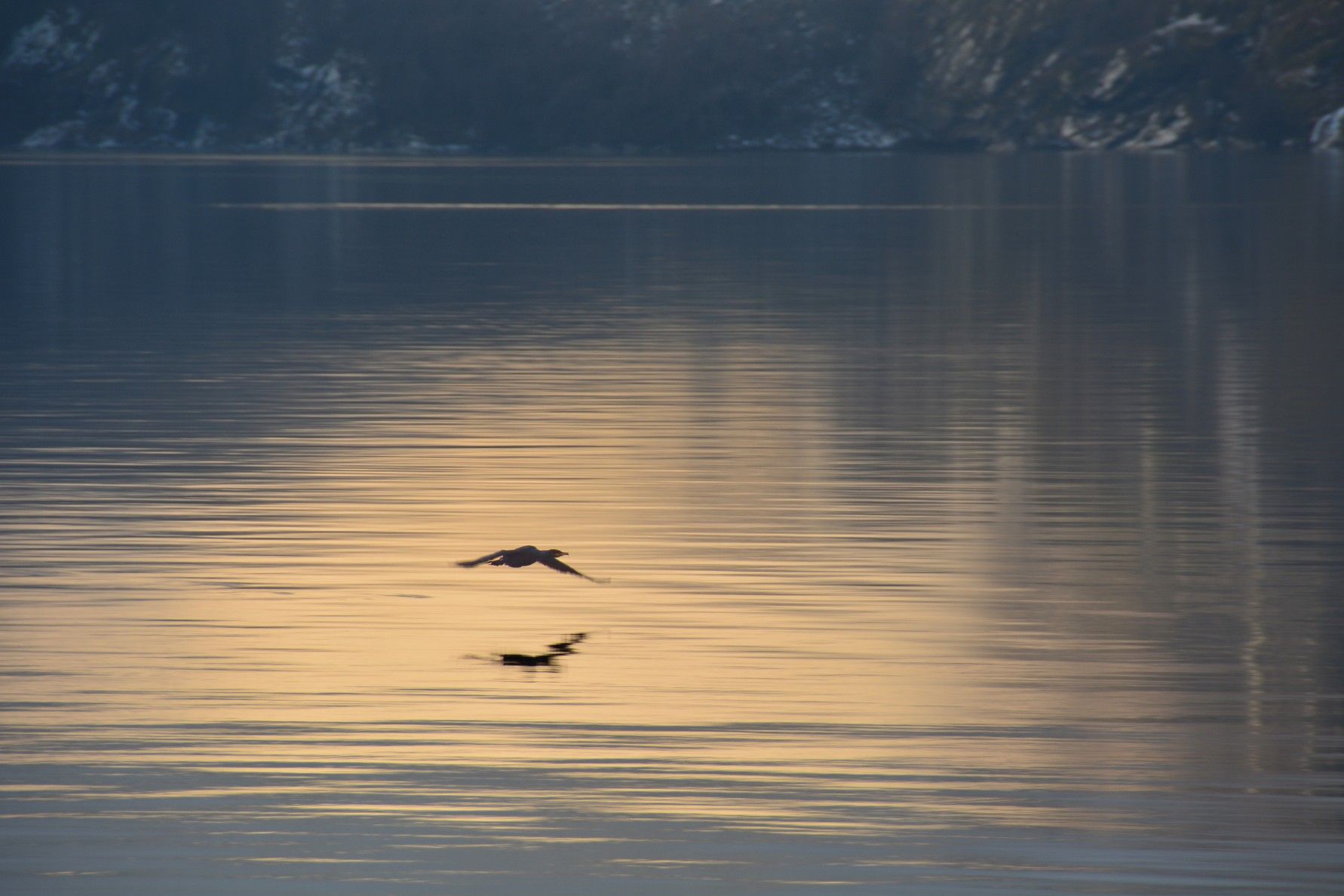 Cormorant flys across the fjord