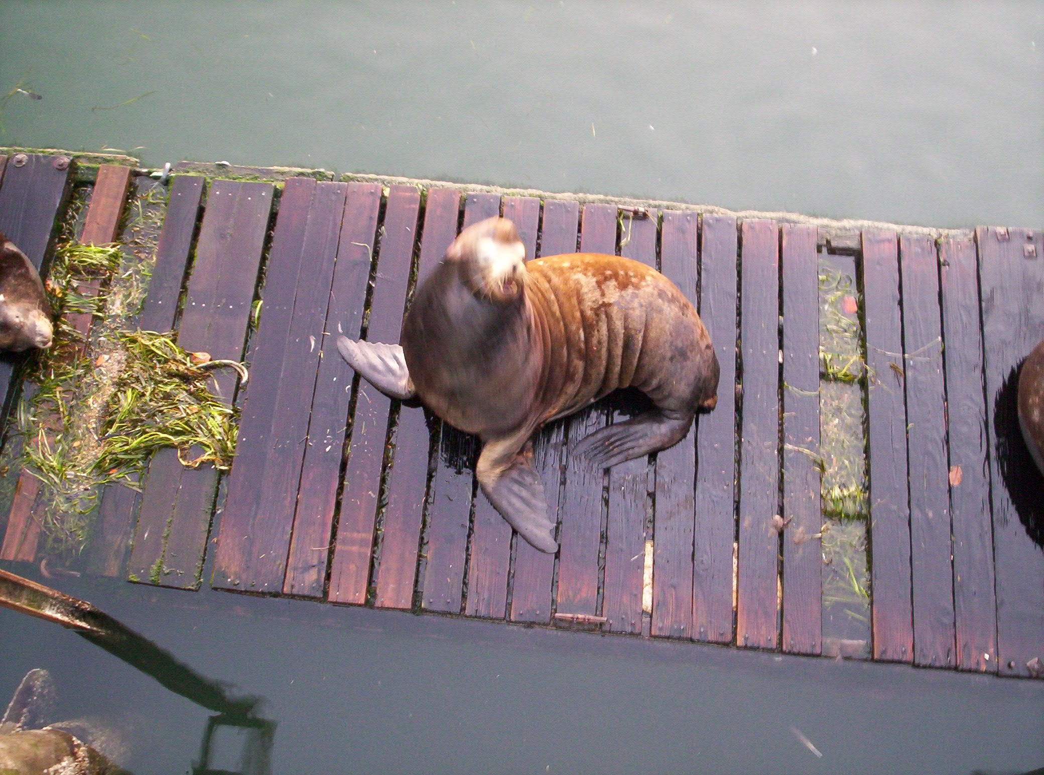 Sea Lion, Newport, OR
