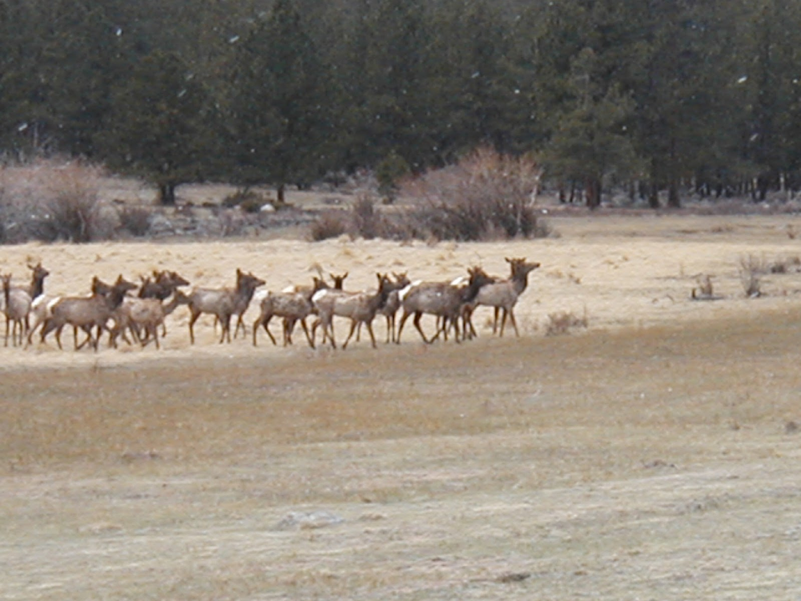 Elk herd in Estes Park, CO