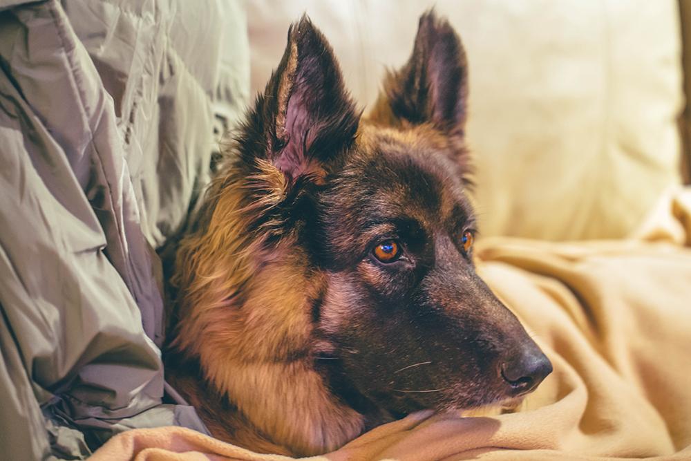 aka: Not Sadie, The Other German Shepherd