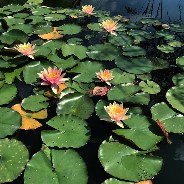 #latergram of the water lilies @nybg earlier this month. Thought I'd share, since the weather has been so BLAH! 😞 . . . . . #waterlily #waterlilies #waterlilypond #aquaticplants #koi #koifish #koifishpond #inspiration #bontanicalgardens #bontanical #waterflowers #flowers #flowerstagram #naturelovers #nature #greenery #sunshine