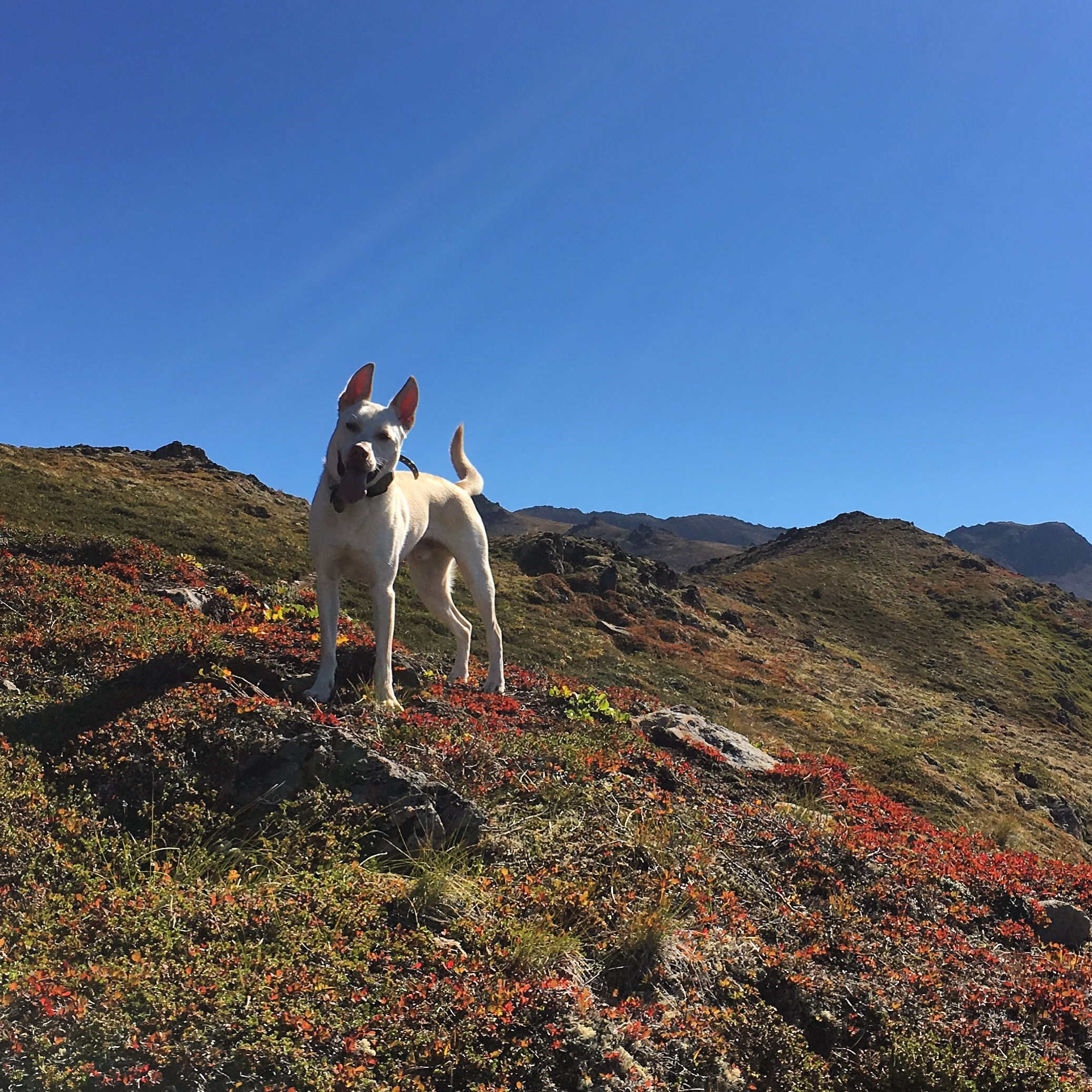 Shiro, stoked out of his mind for mountains per usual.