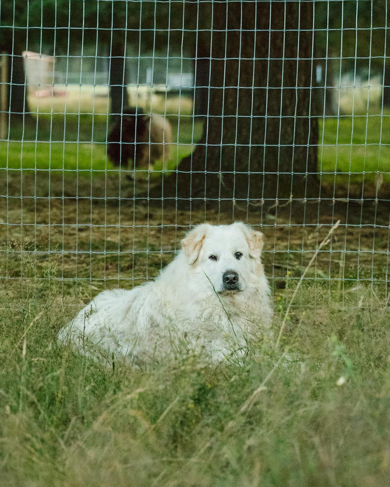 Ghost the Aloof Farm Dog