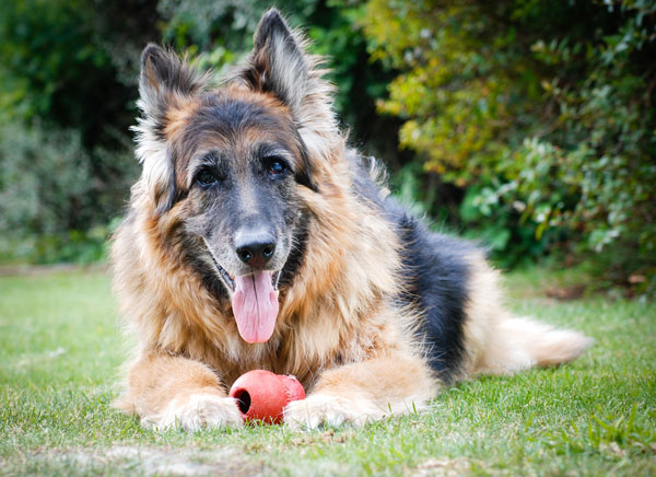 I have an older Shepherd dog who's really having a hard time walking. What do you suggest, or should I be thinking it's soon time to say goodbye?